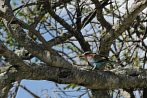 Africa; Kenya; bird; lilac; lilac-breasted roller