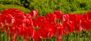 flower; tulip; red tulip