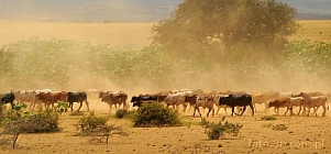 Africa; cattle