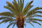 Africa; Morocco; Marrakech; palm; palm tree; Agdal; Agdal garden
